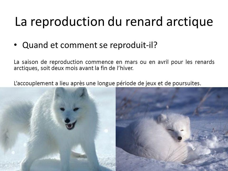Quand et comment se reproduit-il? La saison de reproduction commence en mars ou en avril pour les renards arctiques, soit deux mois avant la fin de l'
