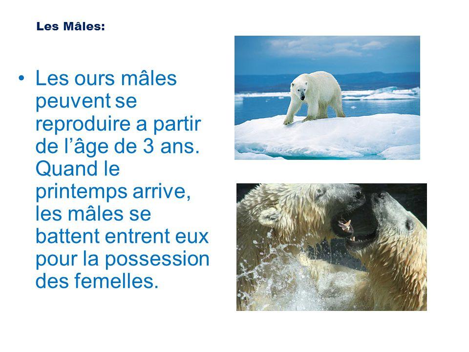Les ours mâles peuvent se reproduire a partir de l'âge de 3 ans. Quand le printemps arrive, les mâles se battent entrent eux pour la possession des fe