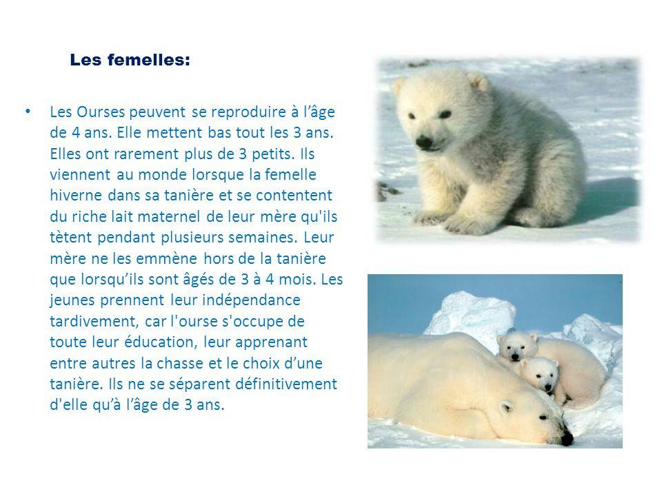 Les femelles: Les Ourses peuvent se reproduire à l'âge de 4 ans. Elle mettent bas tout les 3 ans. Elles ont rarement plus de 3 petits. Ils viennent au