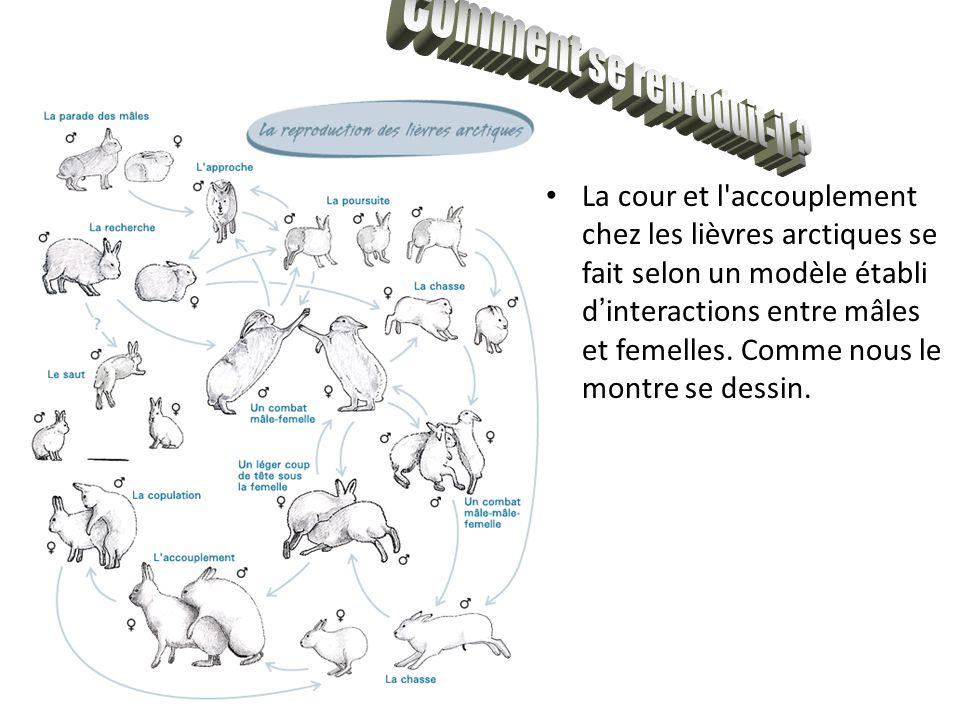 La cour et l'accouplement chez les lièvres arctiques se fait selon un modèle établi d ' interactions entre mâles et femelles. Comme nous le montre se