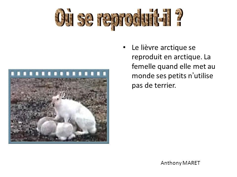 Le lièvre arctique se reproduit en arctique. La femelle quand elle met au monde ses petits n ' utilise pas de terrier. Anthony MARET