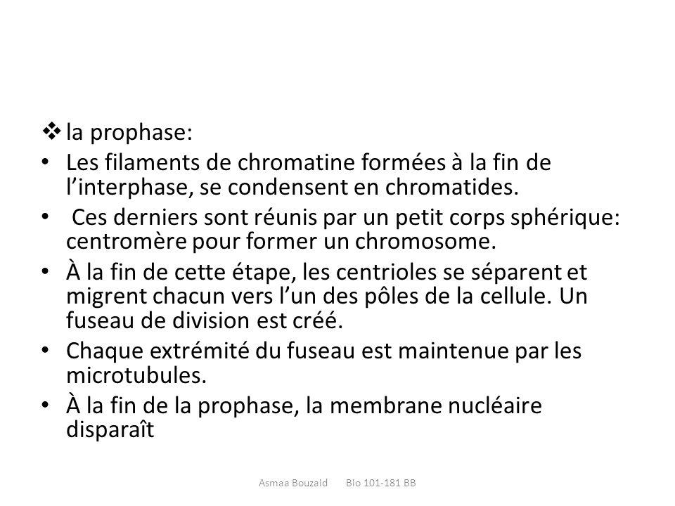  la prophase: Les filaments de chromatine formées à la fin de l'interphase, se condensent en chromatides. Ces derniers sont réunis par un petit corps