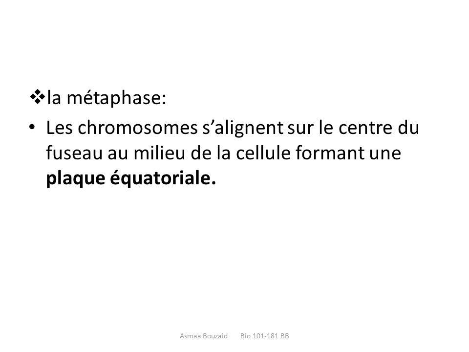  la métaphase: Les chromosomes s'alignent sur le centre du fuseau au milieu de la cellule formant une plaque équatoriale. Asmaa Bouzaid Bio 101-181 B
