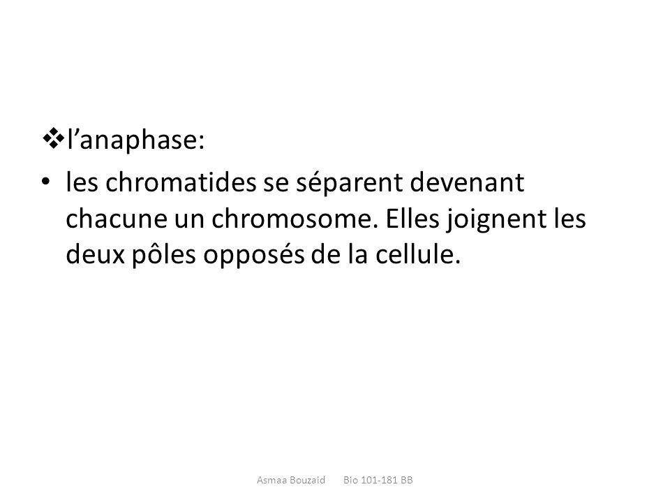  l'anaphase: les chromatides se séparent devenant chacune un chromosome. Elles joignent les deux pôles opposés de la cellule. Asmaa Bouzaid Bio 101-1