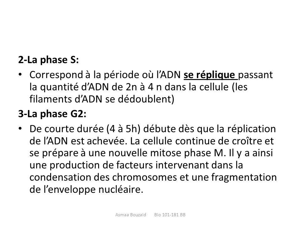 2-La phase S: Correspond à la période où l'ADN se réplique passant la quantité d'ADN de 2n à 4 n dans la cellule (les filaments d'ADN se dédoublent) 3-La phase G2: De courte durée (4 à 5h) débute dès que la réplication de l'ADN est achevée.