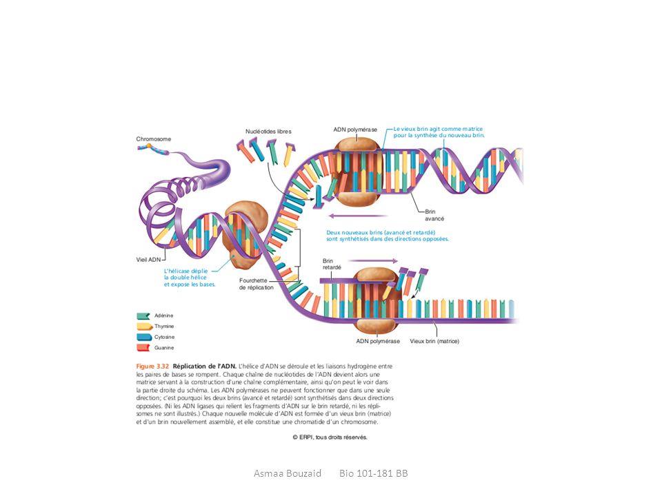  la télophase: Les chromosomes, répartis équitablement aux deux pôles opposés, se décondensent et se transforment en chromatine.