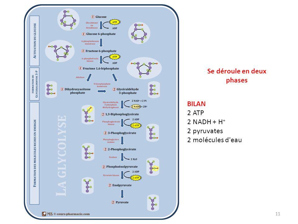 Glycolyse 11 Se déroule en deux phases BILAN 2 ATP 2 NADH + H + 2 pyruvates 2 molécules d'eau