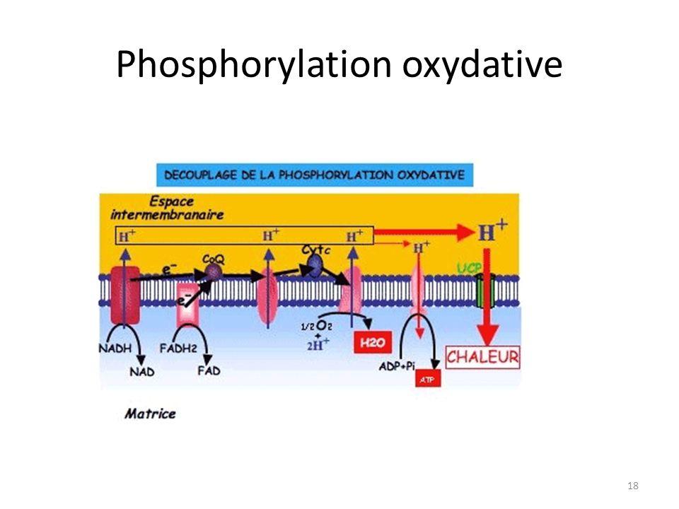 Phosphorylation oxydative 18