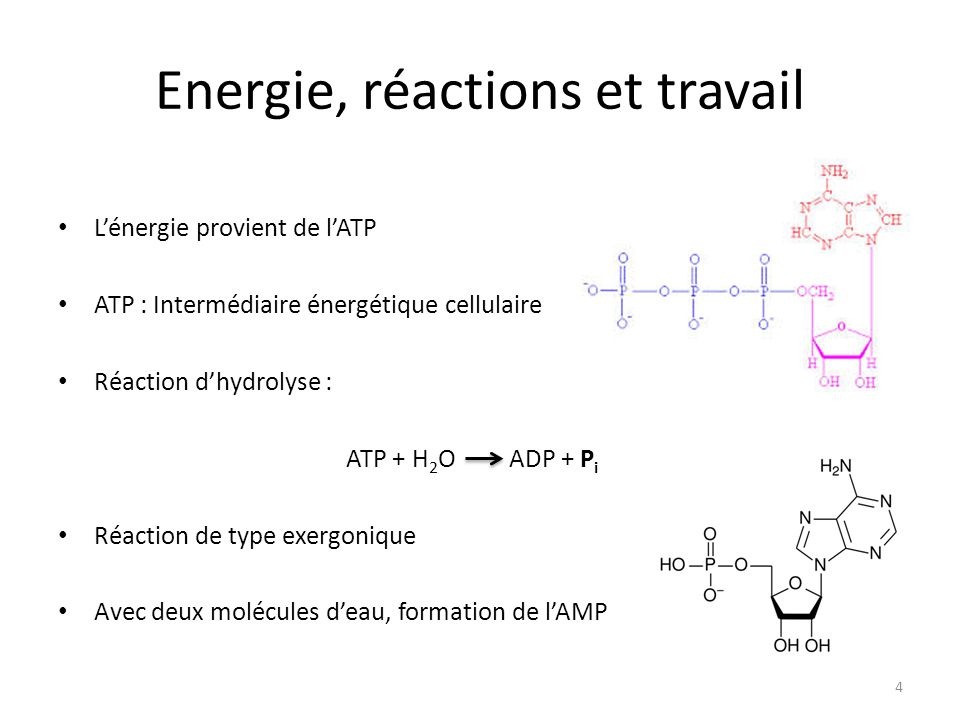 Energie, réactions et travail L'énergie provient de l'ATP ATP : Intermédiaire énergétique cellulaire Réaction d'hydrolyse : ATP + H 2 O ADP + P i Réac