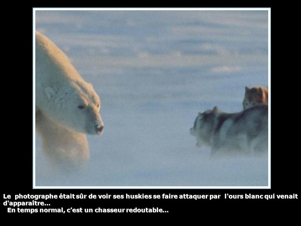 Le photographe était sûr de voir ses huskies se faire attaquer par l'ours blanc qui venait d'apparaître… En temps normal, c'est un chasseur redoutable