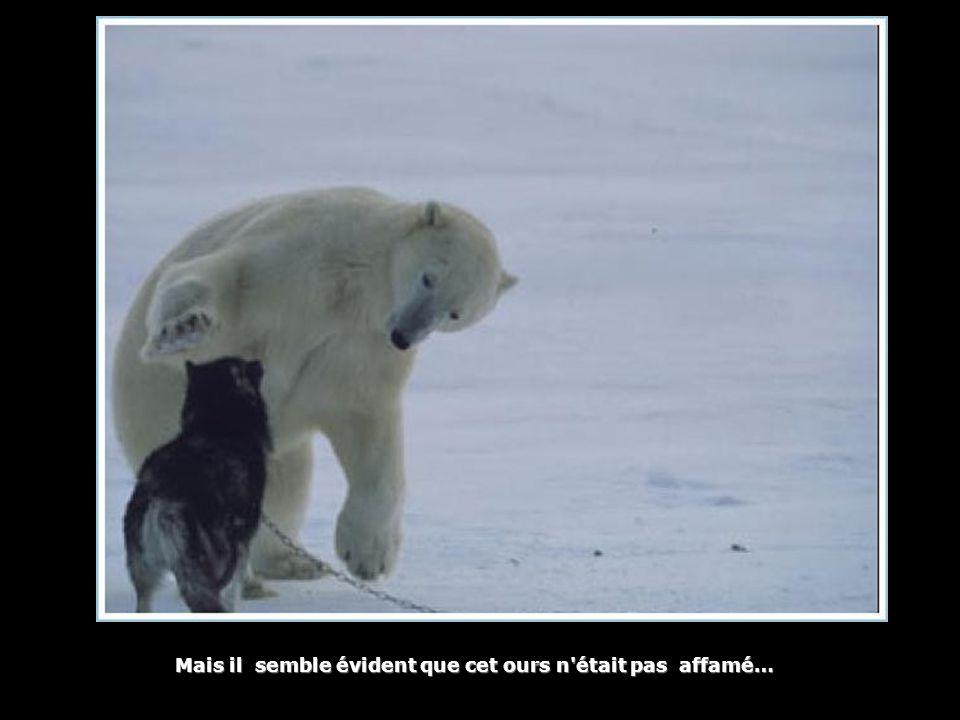 Mais il semble évident que cet ours n'était pas affamé… Mais il semble évident que cet ours n'était pas affamé…