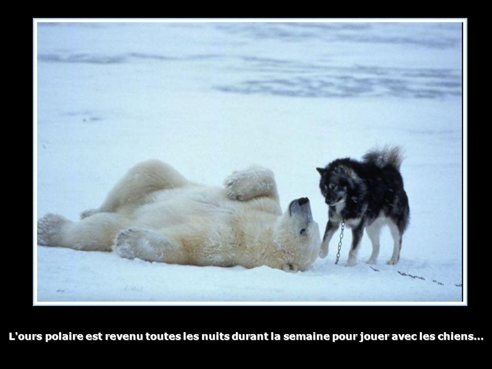 L'ours polaire est revenu toutes les nuits durant la semaine pour jouer avec les chiens…