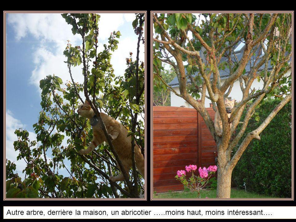Autre arbre, derrière la maison, un abricotier …..moins haut, moins intéressant….