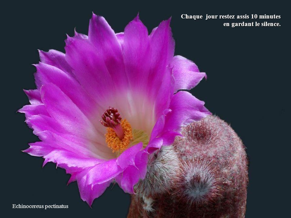 Echinocereus pectinatus Chaque jour restez assis 10 minutes en gardant le silence.