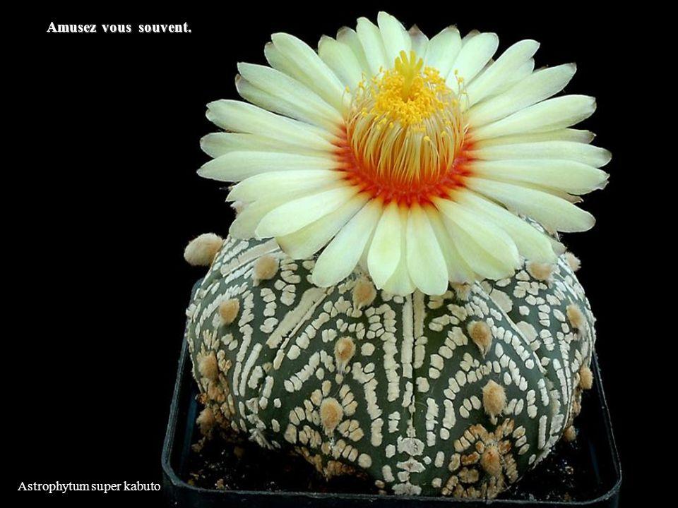 Astrophytum super kabuto Amusez vous souvent.
