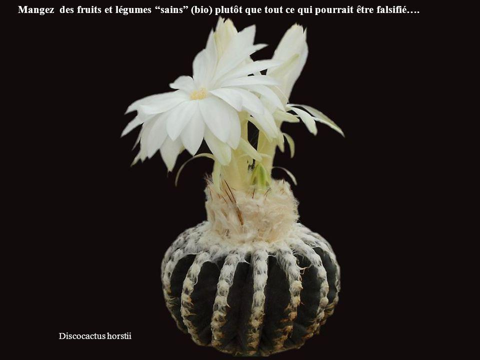 Discocactus horstii Mangez des fruits et légumes sains (bio) plutôt que tout ce qui pourrait être falsifié….