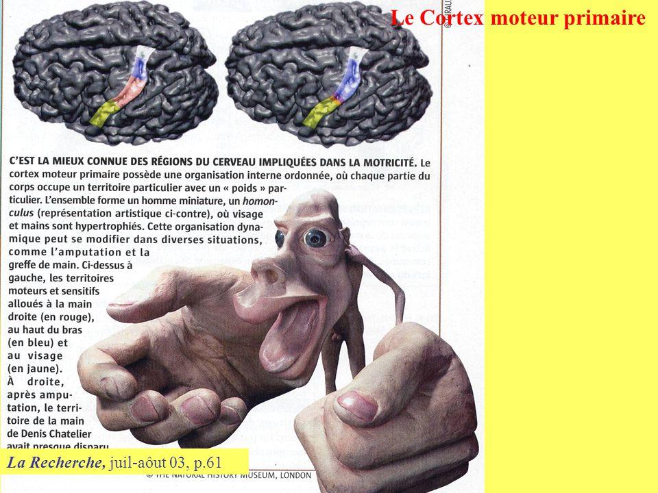 La Recherche, juil-aôut 03, p.61 Le Cortex moteur primaire