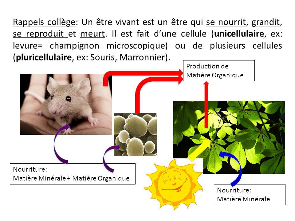 Le métabolisme de l'euglène à la lumière O2O2 CO 2 Vie cellulaire Matière Minérale Les échanges gazeux Energie Photosynthèse Métabolisme Vie cellulaire = Croissance Synthèse de molécule reproduction Vie cellulaire = Croissance Synthèse de molécule reproduction O2O2 C0 2 et respiration