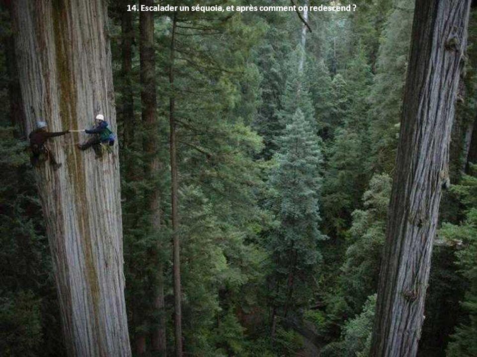 14. Escalader un séquoia, et après comment on redescend ?