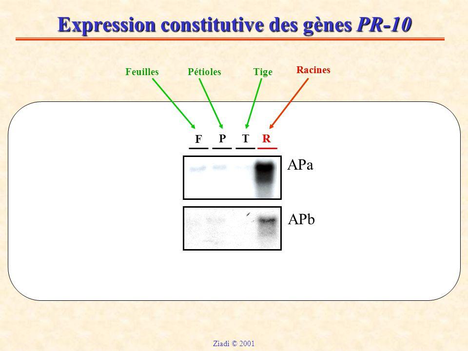 Expression constitutive des gènes PR-10 F PTR APa APb FeuillesTigePétioles Racines R Ziadi © 2001