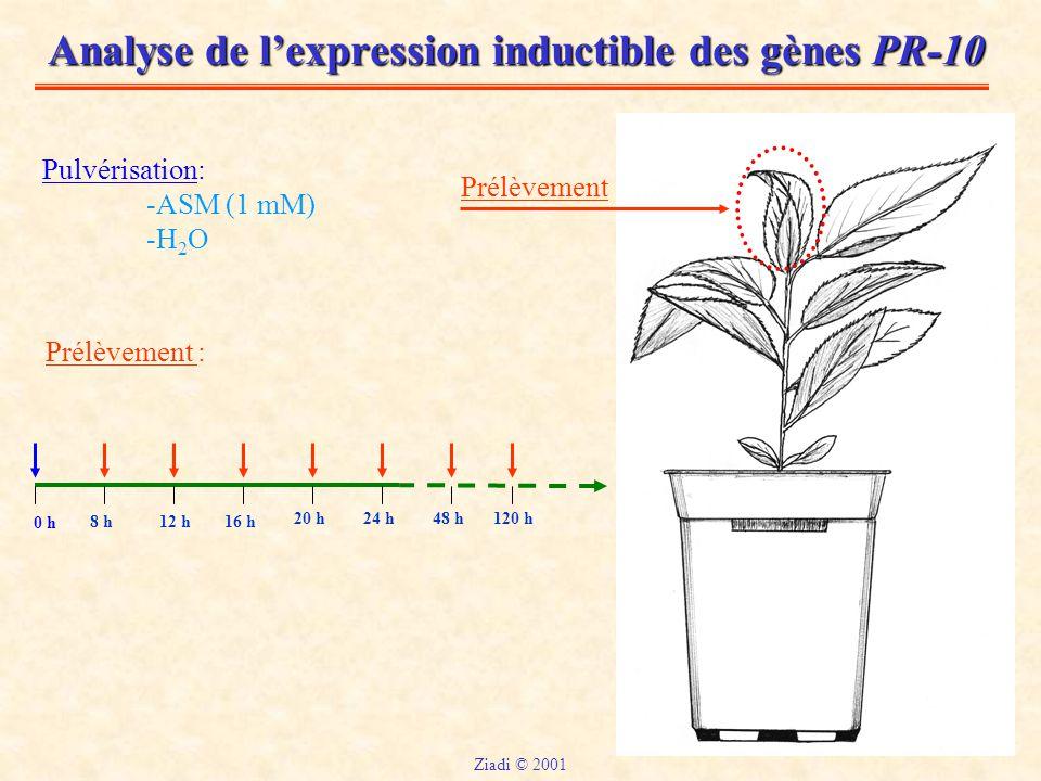 Analyse de l'expression inductible des gènes PR-10 Pulvérisation: -ASM (1 mM) -H 2 O Prélèvement : 0 h 8 h12 h16 h 20 h24 h48 h120 h Prélèvement Ziadi © 2001