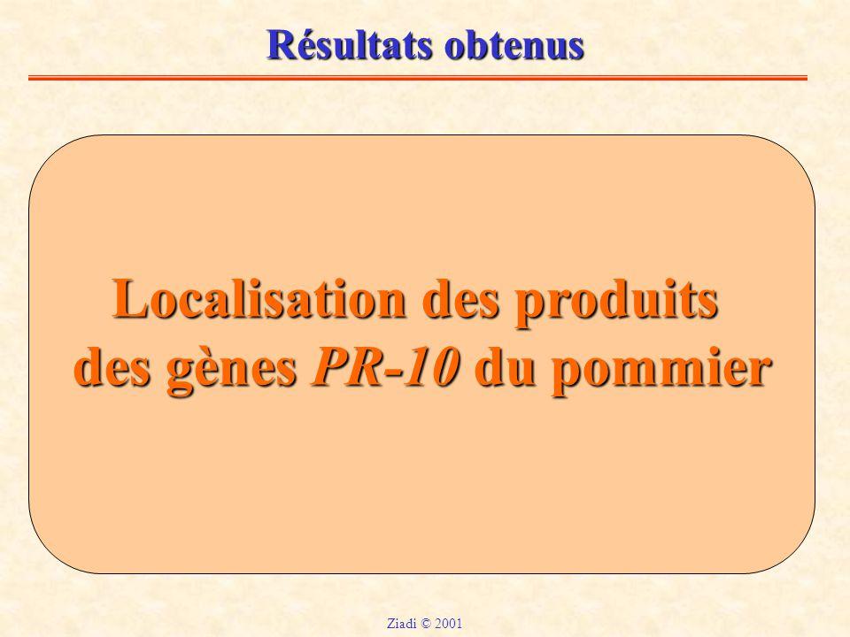Résultats obtenus Localisation des produits des gènes PR-10 du pommier Ziadi © 2001