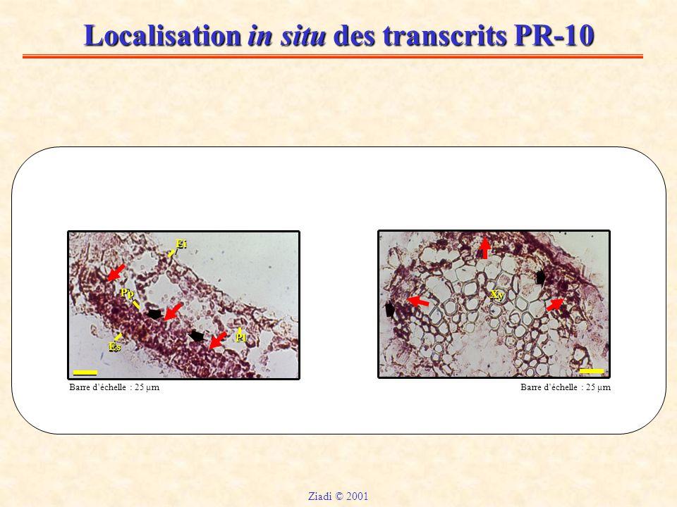 Localisation in situ des transcrits PR-10 Xy Barre d'échelle : 25 µm Ei Pp Es Pl Ziadi © 2001