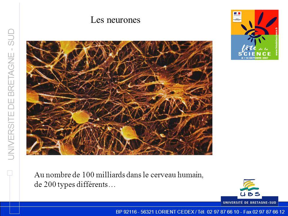 BP 92116 - 56321 LORIENT CEDEX / Tél. 02 97 87 66 10 - Fax 02 97 87 66 12 UNIVERSITE DE BRETAGNE - SUD Les neurones Au nombre de 100 milliards dans le