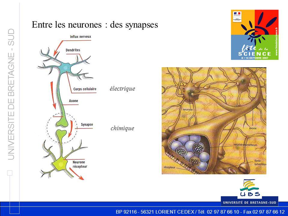 BP 92116 - 56321 LORIENT CEDEX / Tél. 02 97 87 66 10 - Fax 02 97 87 66 12 UNIVERSITE DE BRETAGNE - SUD Entre les neurones : des synapses électrique ch