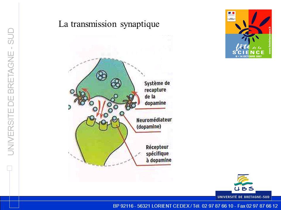 BP 92116 - 56321 LORIENT CEDEX / Tél. 02 97 87 66 10 - Fax 02 97 87 66 12 UNIVERSITE DE BRETAGNE - SUD La transmission synaptique