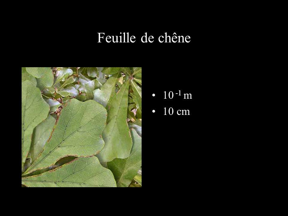 Surface d 'une feuille de chêne grossie 10 fois 10 -2 m 1 cm