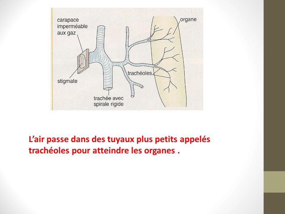 L'air passe dans des tuyaux plus petits appelés trachéoles pour atteindre les organes.