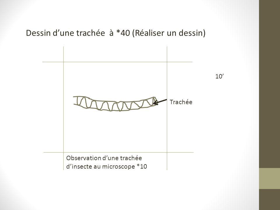 Dessin d'une trachée à *40 (Réaliser un dessin) Trachée Observation d'une trachée d'insecte au microscope *10 10'