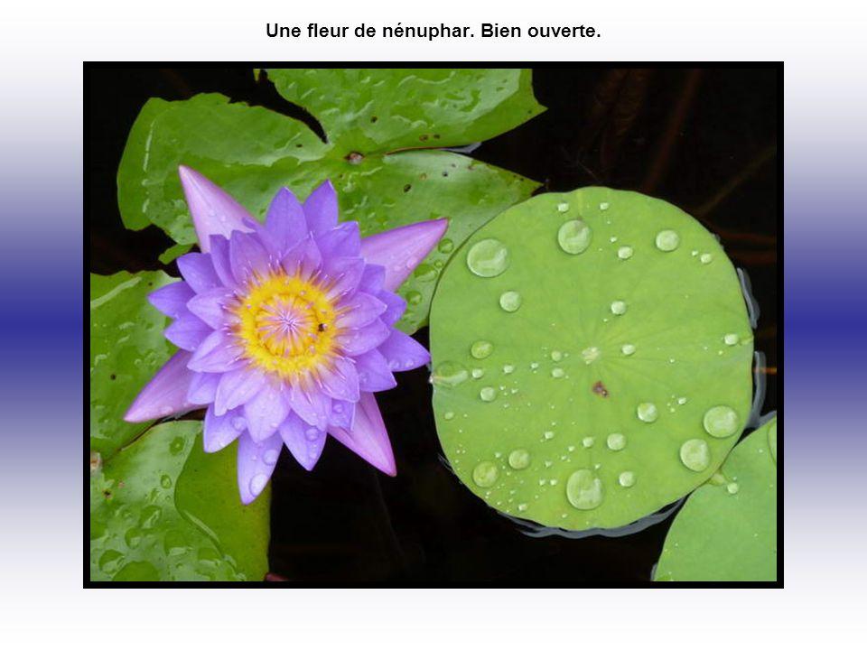Une fleur de nénuphar. Bien ouverte.