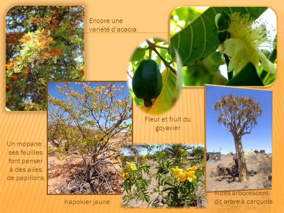Cette euphorbe très toxique provoque une mort instantanée. Un acacia mimosa ou acacia de Namibie C'est le début du printemps. Les arbres n'ont pas enc