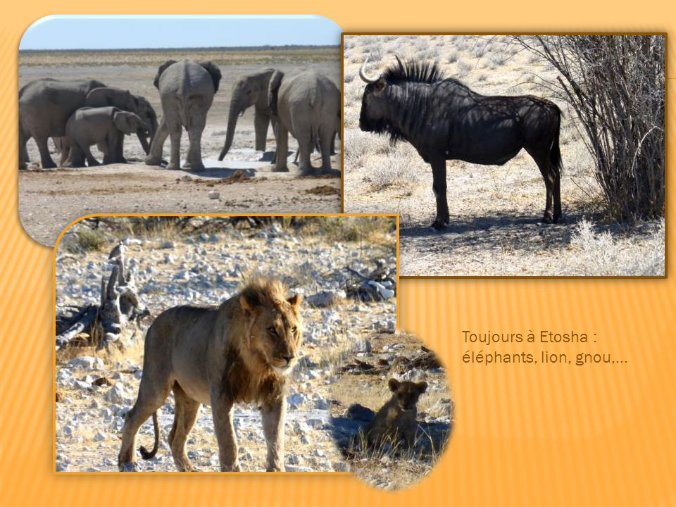 Chacal sur les dunes du Namib, girafes, rhinocéros noir dans le parc naturel d'Etosha.