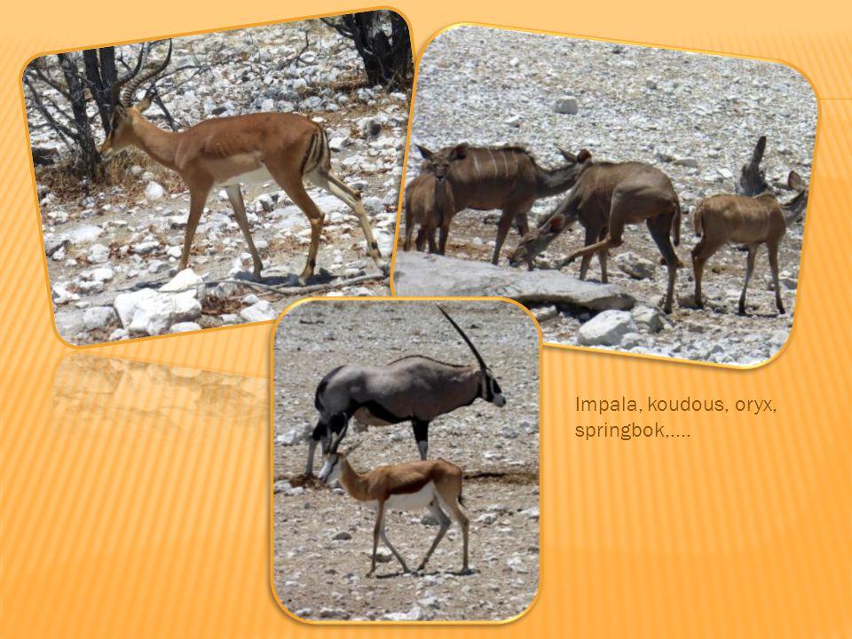 Toujours à Etosha : éléphants, lion, gnou,…