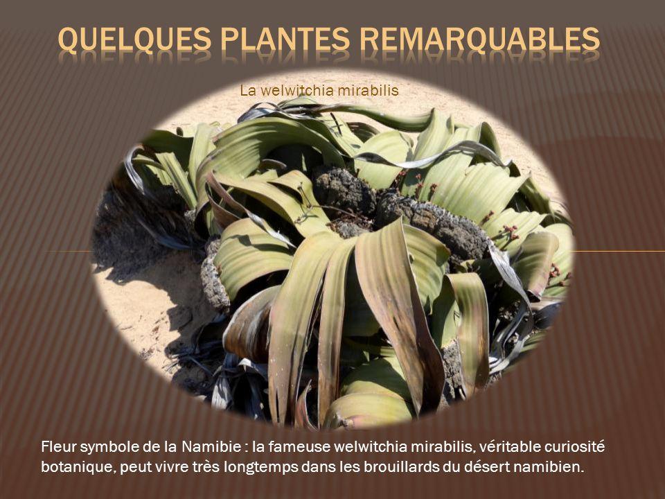 La welwitchia mirabilis Fleur symbole de la Namibie : la fameuse welwitchia mirabilis, véritable curiosité botanique, peut vivre très longtemps dans les brouillards du désert namibien.
