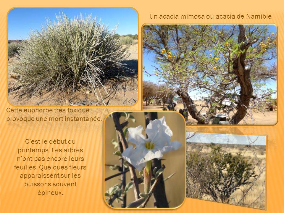 La welwitchia mirabilis Fleur symbole de la Namibie : la fameuse welwitchia mirabilis, véritable curiosité botanique, peut vivre très longtemps dans l