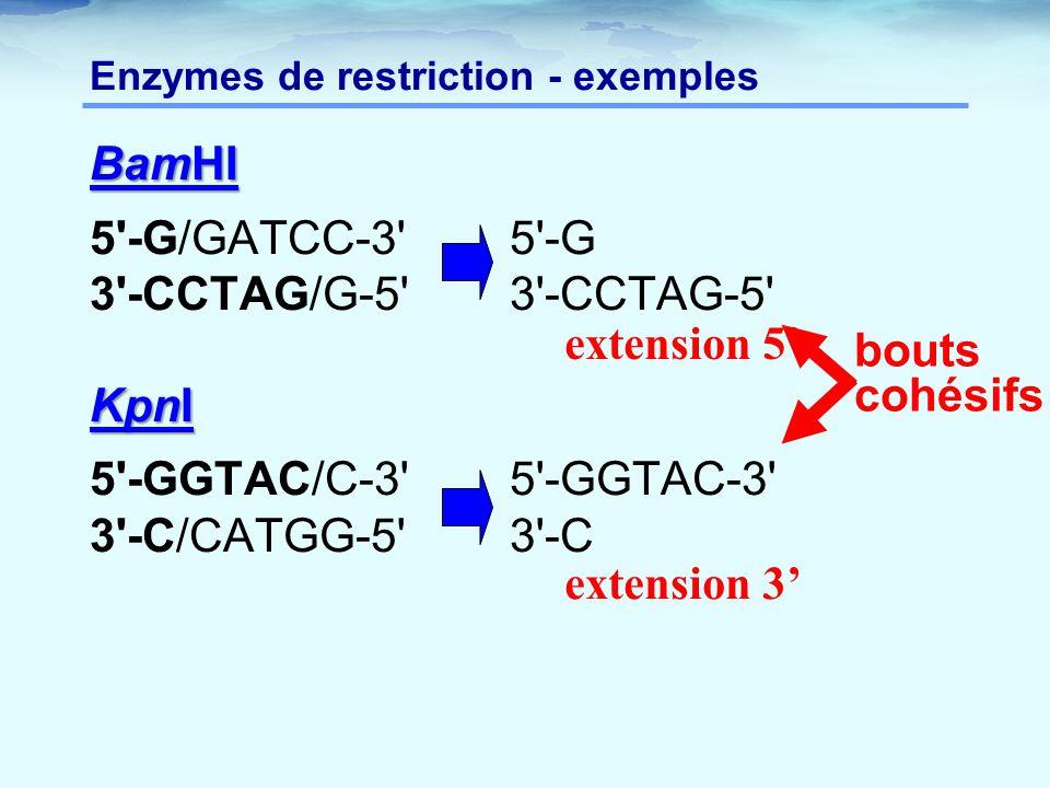 Enzymes de restriction - exemples BamHI 5'-G/GATCC-3'5'-G 3'-CCTAG/G-5'3'-CCTAG-5' KpnI 5'-GGTAC/C-3'5'-GGTAC-3' 3'-C/CATGG-5'3'-C extension 5' extens