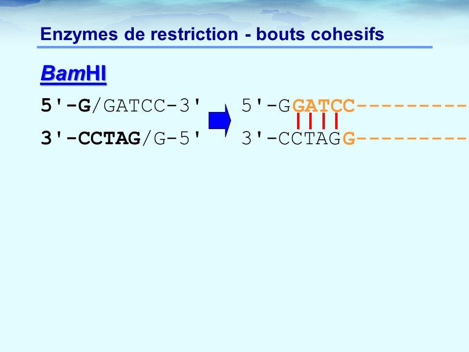 Enzymes de restriction - bouts cohesifs BamHI 5'-G/GATCC-3' 5'-G 3'-CCTAG/G-5' 3'-CCTAG GATCC-------------- G--------------