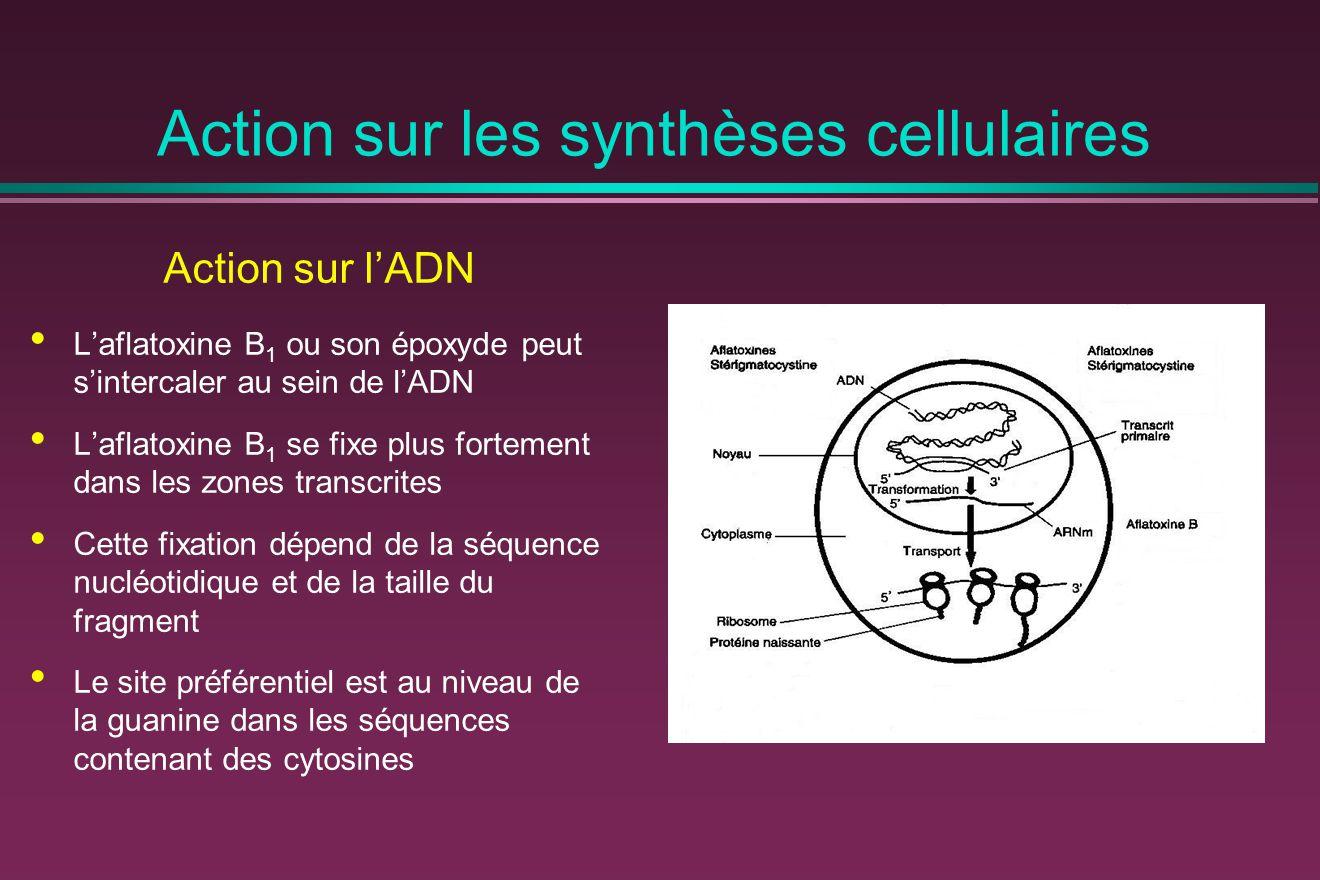 Action sur les synthèses cellulaires Action sur l'ADN L'aflatoxine B 1 ou son époxyde peut s'intercaler au sein de l'ADN L'aflatoxine B 1 se fixe plus fortement dans les zones transcrites Cette fixation dépend de la séquence nucléotidique et de la taille du fragment Le site préférentiel est au niveau de la guanine dans les séquences contenant des cytosines