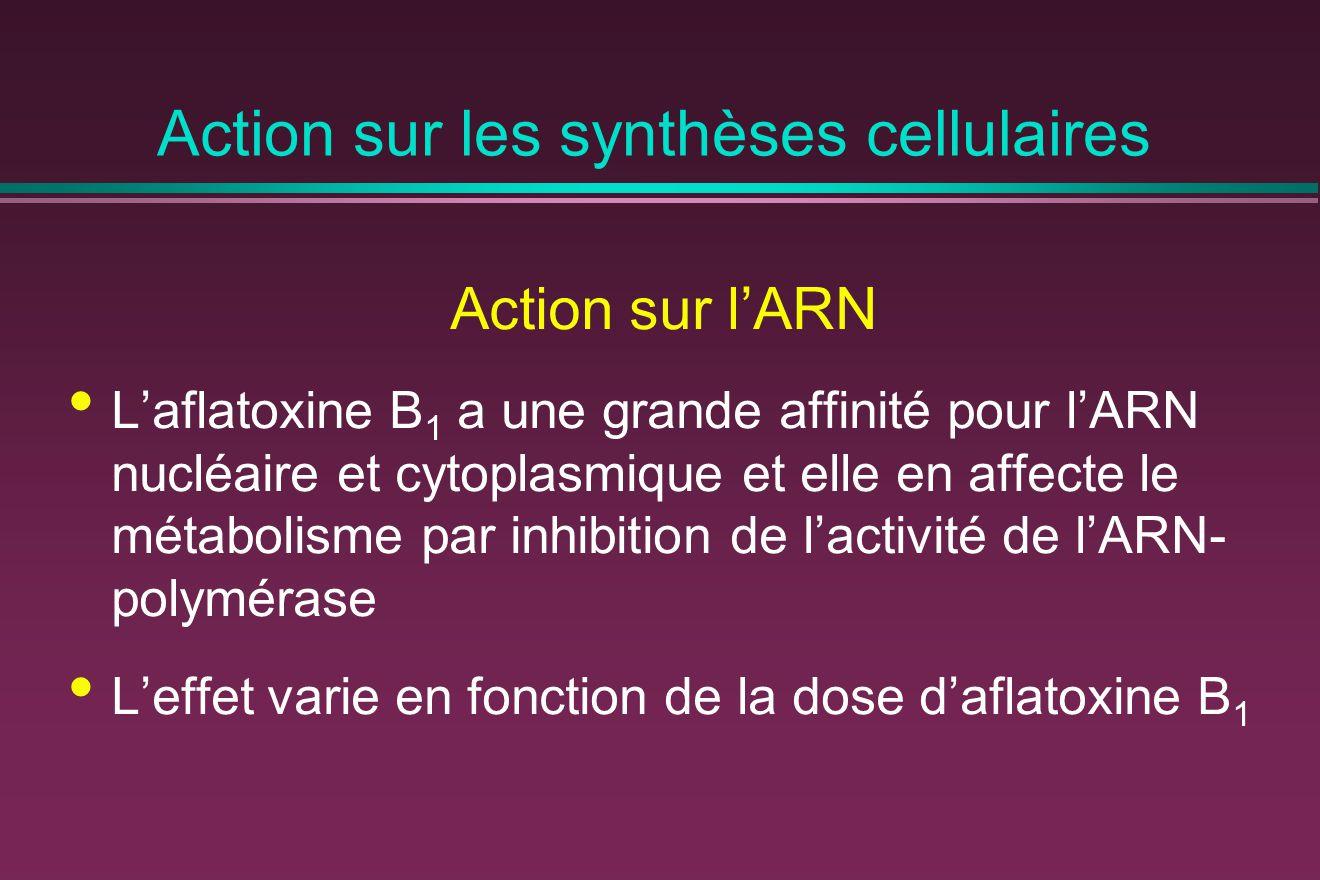 Action sur les synthèses cellulaires Action sur l'ARN L'aflatoxine B 1 a une grande affinité pour l'ARN nucléaire et cytoplasmique et elle en affecte le métabolisme par inhibition de l'activité de l'ARN- polymérase L'effet varie en fonction de la dose d'aflatoxine B 1