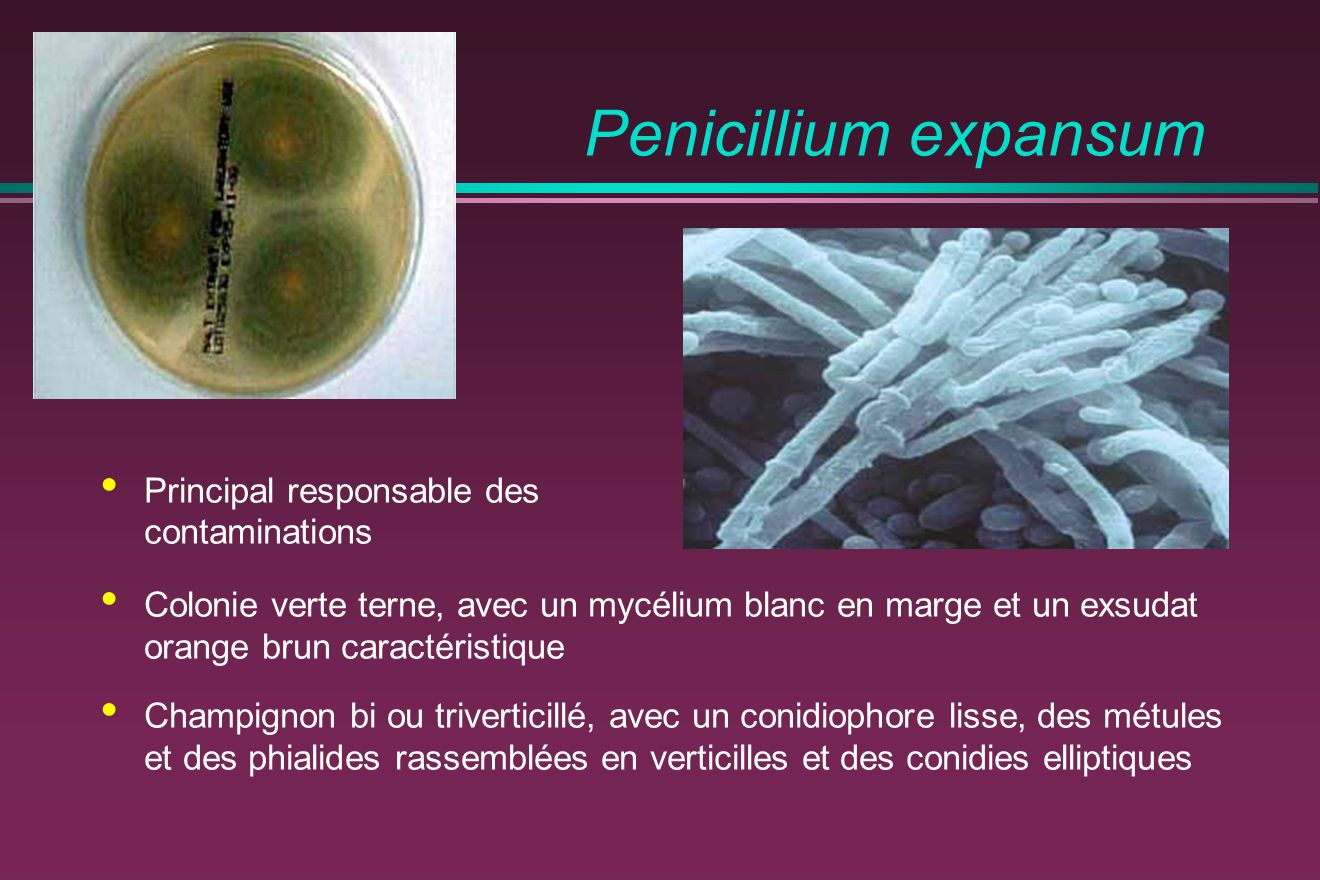 Penicillium expansum Principal responsable des contaminations Colonie verte terne, avec un mycélium blanc en marge et un exsudat orange brun caractéristique Champignon bi ou triverticillé, avec un conidiophore lisse, des métules et des phialides rassemblées en verticilles et des conidies elliptiques