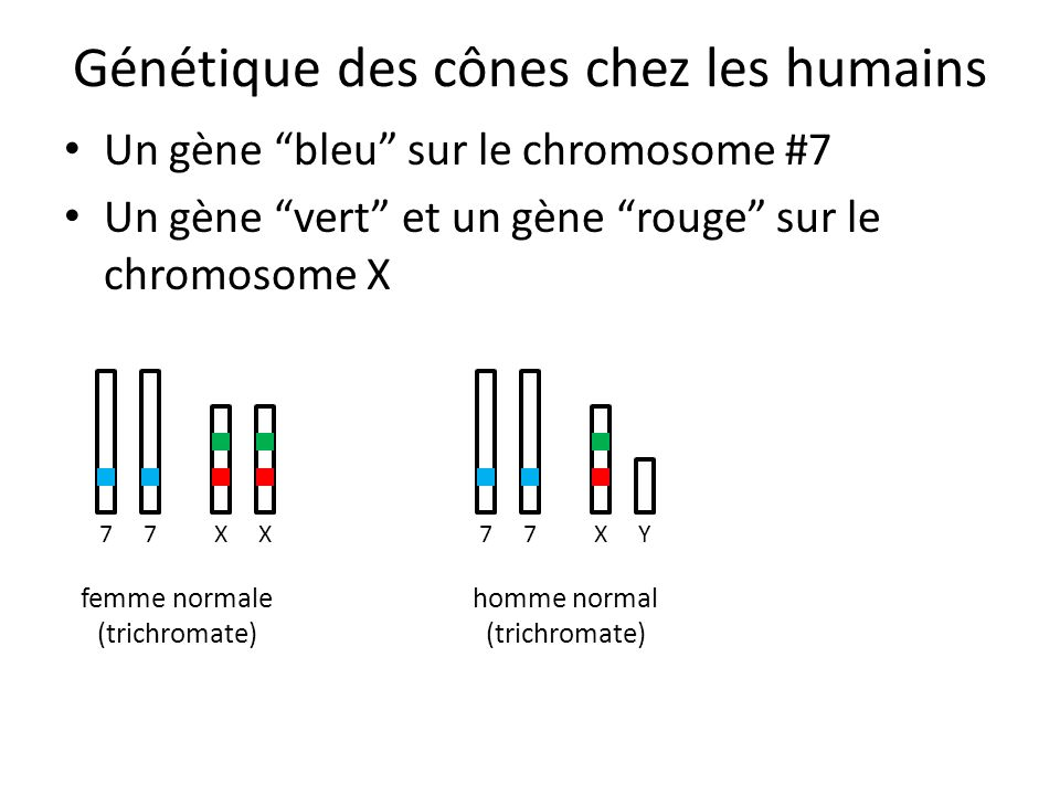 """Génétique des cônes chez les humains Un gène """"bleu"""" sur le chromosome #7 Un gène """"vert"""" et un gène """"rouge"""" sur le chromosome X 77XX femme normale (tri"""