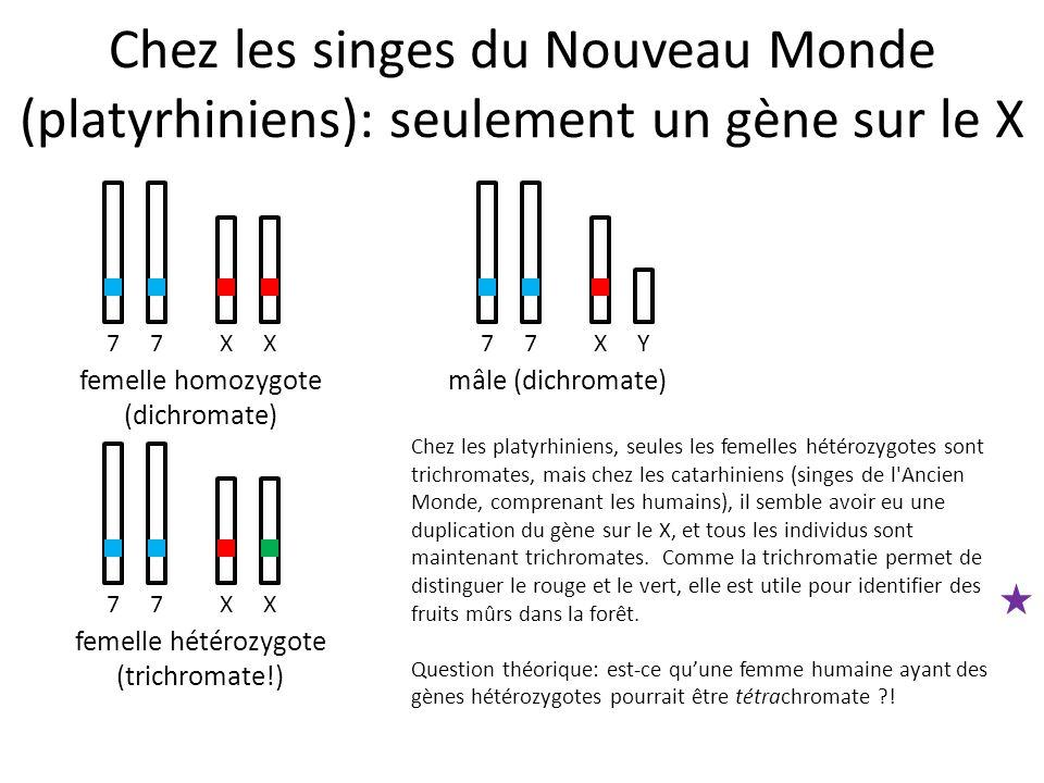 77XX femelle homozygote (dichromate) 77XY mâle (dichromate) 77XX femelle hétérozygote (trichromate!) Chez les singes du Nouveau Monde (platyrhiniens):