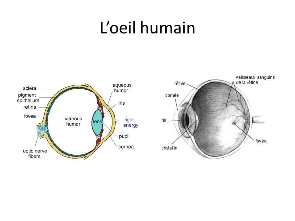 La rétine La lentille forme une image sur la rétine La rétine est couverte de cellules qui captent la lumière et qui stimulent le système nerveux – Bâtonnets ( rods en anglais) Utilisés pendant la nuit, et pour détecter le mouvement Détectent des intensités ou des teintes de gris Ne distinguent pas les fréquences (couleurs) – Cônes ( cones en anglais) Distinguent les fréquences (couleurs), nous donnant la vision en couleur pendant le jour 3 sortes, chacune sensible à une bande de fréquences différente À retenir!