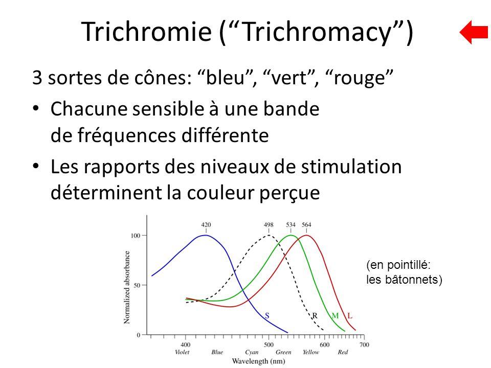 """Trichromie (""""Trichromacy"""") 3 sortes de cônes: """"bleu"""", """"vert"""", """"rouge"""" Chacune sensible à une bande de fréquences différente Les rapports des niveaux d"""