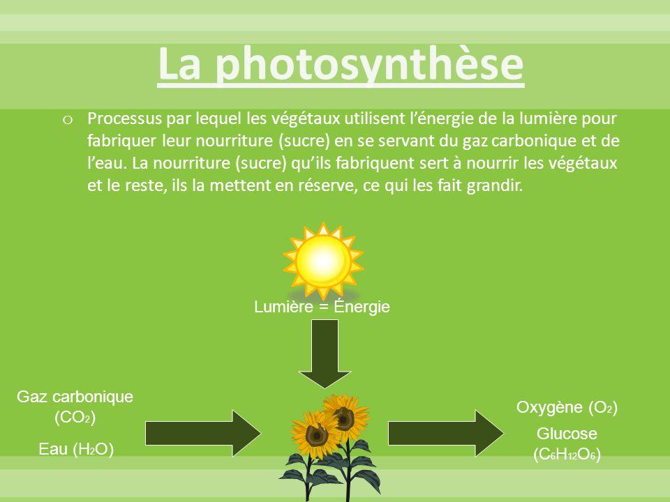 o Processus par lequel les végétaux utilisent l'énergie de la lumière pour fabriquer leur nourriture (sucre) en se servant du gaz carbonique et de l'e