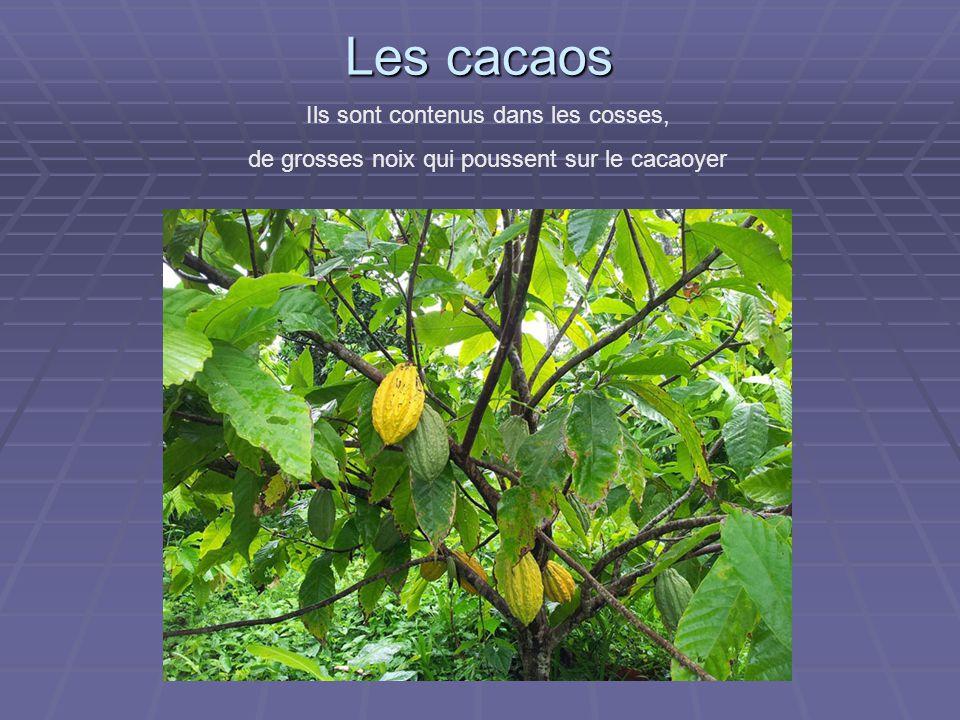 Les cacaos Ils sont contenus dans les cosses, de grosses noix qui poussent sur le cacaoyer